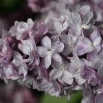 Thyrse de lilas, une inflorescence pyramidale en grappe.
