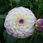 Les fleurs minuscules s'associent pour former un ensemble dense .