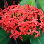 Ixora coccinea, originaire du sud de l'Asie où on l'utilise pour soigner les plaies et l'eczéma.