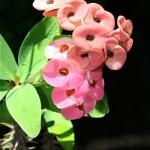 Euphorbia milii appelée Epine du Christ car ses tiges charnues sont recouvertes d'épines acérées.