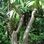 Pachypodium lamerei de Madagascar. Son tronc est couvert d'épines et ses feuilles tombent à la fin de l'été