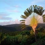 Ravenala Madagascariensis,arbre des voyageurs.Son éventail de feuilles gigantesques est le symbole de l'île.