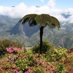 En climat chaud, peu de plantes produisent un effet aussi spectaculaire Fougère arborescente, La Réunion.