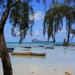 Filao, Ile Maurice.Adapté au bord de mer, résiste même aux cyclones,il est aussi très présent à la Réunion.