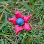 En automne,les baies de Clerodendrum trichotomum sont bleues et entourées de calices rouges.