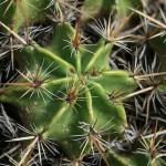 Ferocactus ou Cactus féroce, plantes protégées par de solides aiguillons.