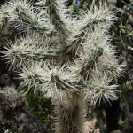 Cylindropuntia spinosior, famille appelée aussi Cholla chez les Anglo-saxons.
