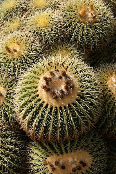 L'Echinocactus grusonii ou Cactus oursin est appelé aussi coussin de belle-mère !