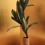 Dans cette composition,toutes les feuilles d'Aspidistra semblent sortir du même point. Ecole Misho