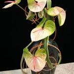 Anthuriums bicolores