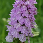 Dactylorhiza, ou orchis des marais : 33 espèces de ces orchidées poussent dans les marécages et fleurissent en mai-juin dans prairies et pâturages.