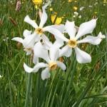 Au mois de mai, les prairies de Lozère sont couvertes de fleurs: ici narcissses des poètes, boutons d'or et renouées bistortes, fleurs dont on peut faire des bouquets.
