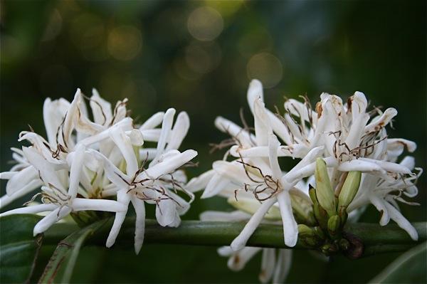 inspirations florales-cuba-cafe-blanc