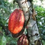 Theobroma cacao signifie en grec nourriture des dieux. L'arbre peut s'élever à 10 m dans ses forêts natales d'amérique centrale.C'est avec les graines contenues dans ses fruits que l'on fabrique le chocolat.