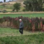 Le quinoa a été un aliment de base dans les Andes pendant des milliers d'années.Classée super-culture par l'ONU en raison de sa forte valeur nutritive, cette plante herbacée était appelée graine-mère par les Incas.Elle pousse jusqu'à 4000 m d'altitude.