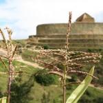 Fleurs de maïs devant le temple du soleil de l'Ingapirca. Le maïs est omniprésent : il accompagne les soupes, on en fait du pain ou de délicieux gâteaux que l'on mange tièdes enveloppés d'une feuille d'héliconia.