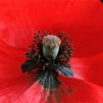 Métaphore entre la couleur rouge et la crête du coq, l'onomatopée coquerico a donné son nom au coquelicot.