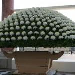 En une année, la sphère peut atteindre 3 à 4 mètres et développer plusieurs centaines de fleurs.